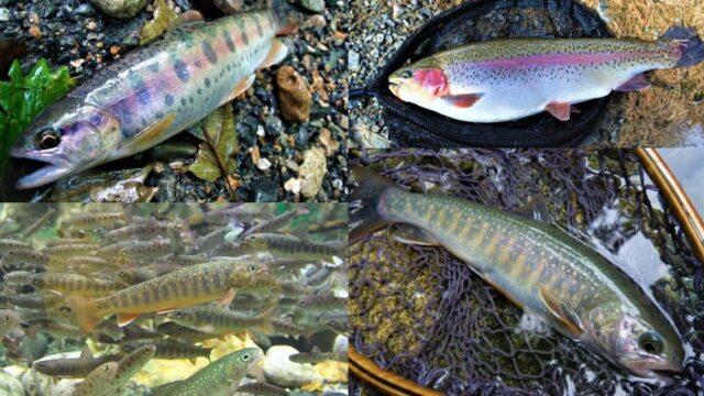 渓流釣りで釣れる魚
